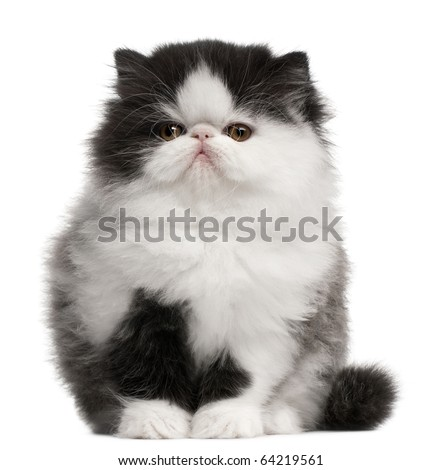 Persian Kitten, 10 weeks old, sitting in front of white background - stock photo