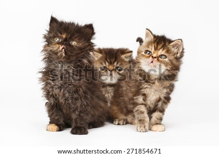 Persian kittens - stock photo
