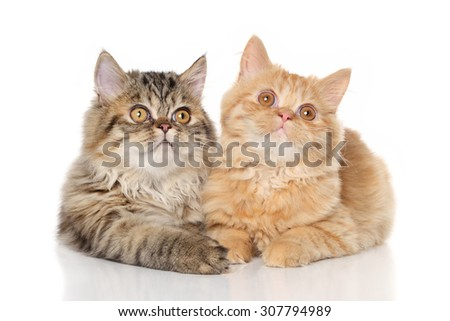 Persian kittens lying on a white background - stock photo
