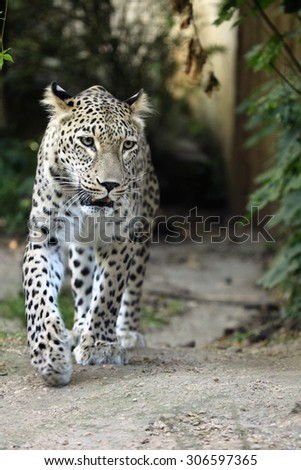 Persian leopard (Panthera pardus saxicolor), also known as the Caucasian leopard. Wild life animal.  - stock photo