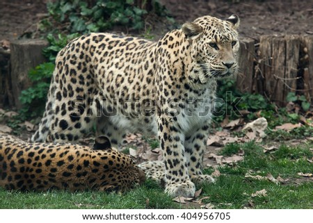 Persian leopard (Panthera pardus saxicolor), also known as the Caucasian leopard.Wild life animal.  - stock photo