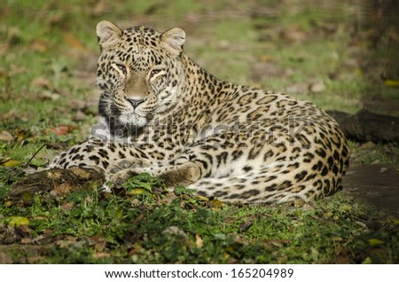 Persian Leopards - stock photo