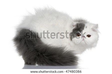 Persian (9 monhs old) in front of a white background
