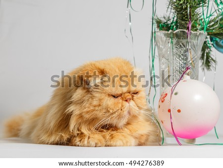 Persian red cat looking at a Christmas ball.