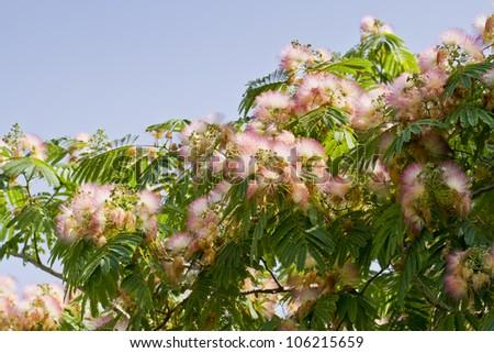 Persian silk tree - stock photo