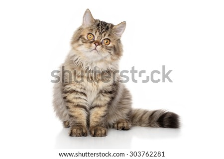 Persian striped cat sits in front of white background