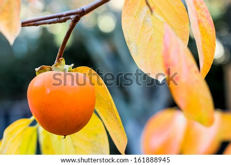 Persimmon hanging on the tree. Close up with selective focus on the fruit. - stock photo