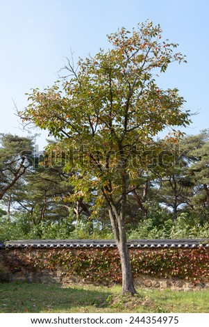 persimmon tree against korean traditional tiled roof wall - stock photo