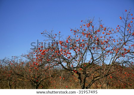 Persimmon tree field with vivid fruits and blue sky