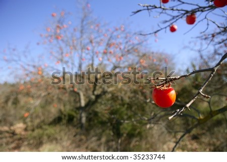 Persimmon tree field with vivid fruiTs and blue sky - stock photo