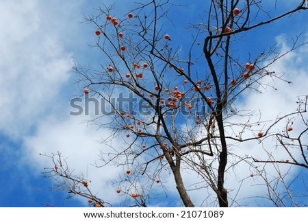 Persimmon tree with blue sky - stock photo