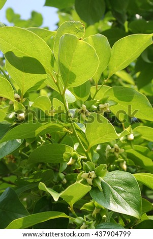 Persimmon tree with flower in spring - stock photo
