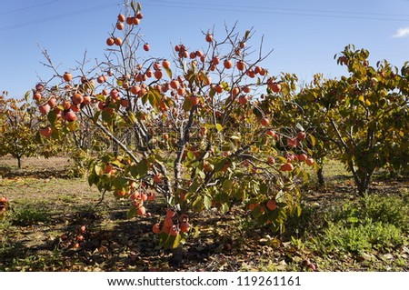 Persimmon tree with mature kaki fruits, Spain