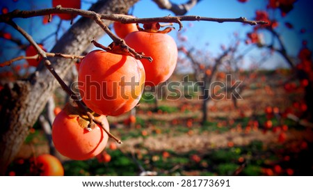 Persimmons at fruit garden, Valencia - stock photo