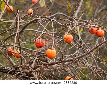 persimmons on the tree - stock photo