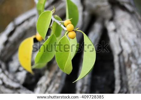 Persimmons tree. - stock photo
