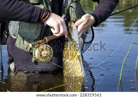 Person Angler Fisherman Releasing Pike Fish Catch while Holding Fly Fishing Rod - stock photo