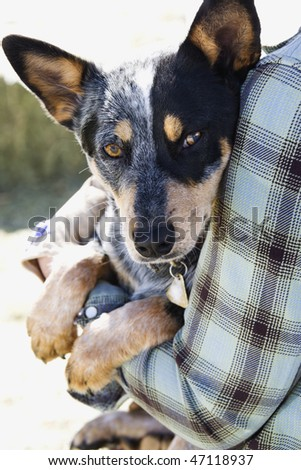 Person carrying an Australian shepherd on a sunny day. Vertical shot. - stock photo