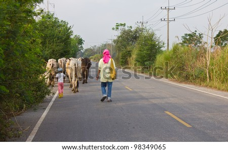Person cattle. Children and adults will cattle a walk on the road.