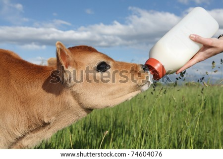 person feeding baby calf bottle of milk in Spring - stock photo