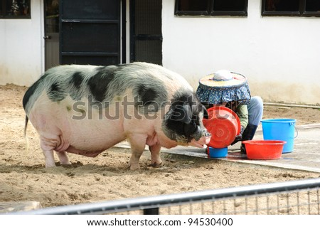 Person feeding pig in the farm - stock photo