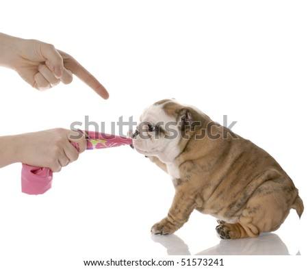 person scolding puppy for tugging on fabric  - english bulldog nine weeks old - stock photo
