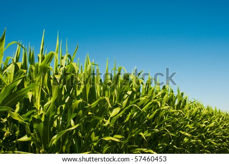 Perspective low view of a corn field on a sunny day. - stock photo