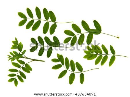 perspective  rowan-tree dry delicate green leaf fresh  rowan leaves pressed isolated on white background scrapbook art flower arrangement , rowanberry, sorb, wild ash, - stock photo