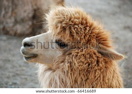 Peruvian alpaca - stock photo