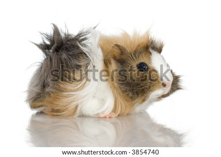 Peruvian guinea pig against a white background