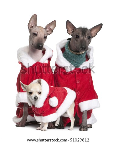 Peruvian Hairless Dogs and a puppy Chihuahua in Santa coats, 1 year, 2 years and 4 months old, in front of white background - stock photo