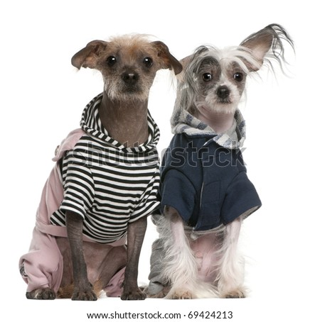 Peruvian Hairless dogs dressed up sitting in front of white background - stock photo