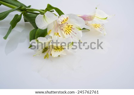 Peruvian Lilies on white, soft, light and gentle - stock photo