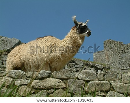 Peruvian Llama - stock photo