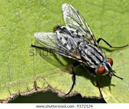 Pest - the common housefly with wings glinting in the sun
