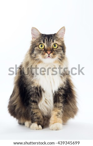 Pet, adult longhair cat isolated on white background