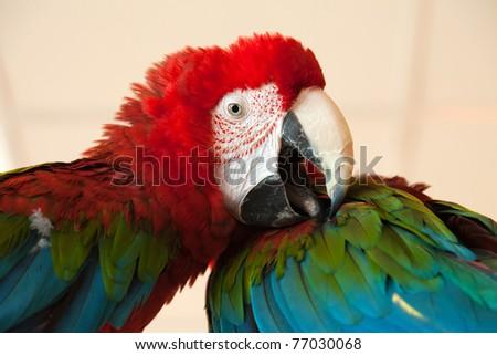 Pet animal - tropical parrot bird feather and beak - stock photo
