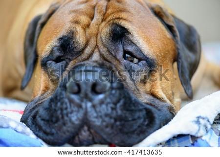 pet big nose and eyes of bullmastiff dog close-up - stock photo