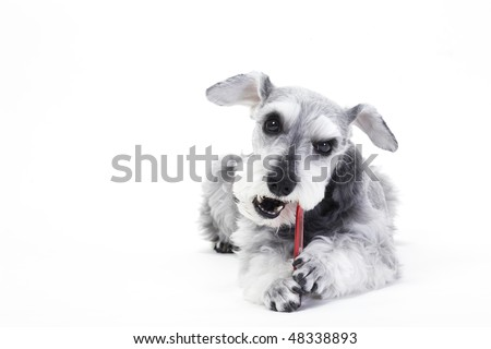 Pet dog that does toothbrush - stock photo