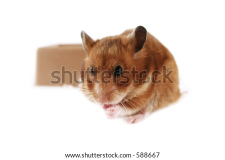 Pet hamster eating