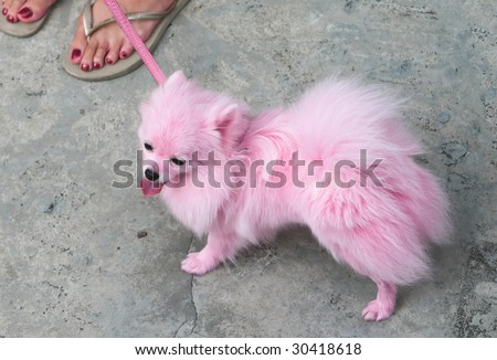 Pet Pomeranian dog dye in pink at the first ever public GLBT event, Pink Dot, held in Singapore on 16 May 2009, at Hong Lim Park. - stock photo