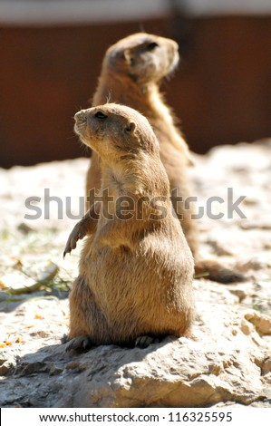 pet prairie dog
