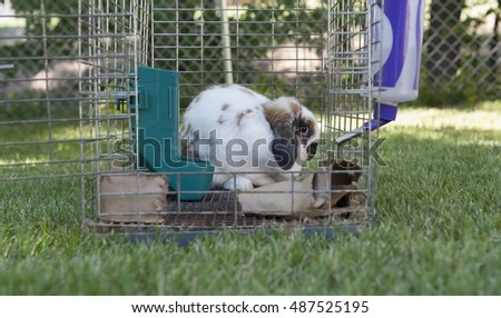 Pet Rabbit looks out the open door of its cage from the safety of the back of the cage