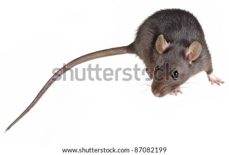 pet rat - stock photo