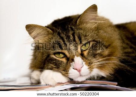 Pet Series. Portrait of norwegian cat relaxing. - stock photo