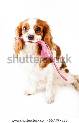 Pet shop pet store illustration or for any concept. Dog hold pink new collar. Cavalier king charles spaniel dog with pet shop product. Happy trained dog playing with collar in white studio background.