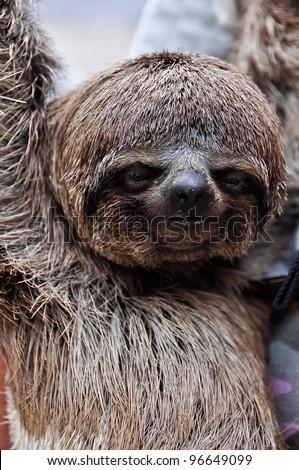 Pet Sloth - stock photo