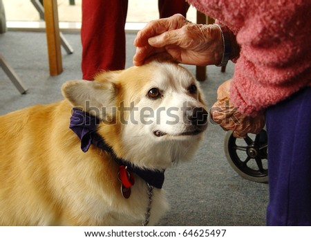 Pet therapy series. Beautiful corgi dog being petted by an elderly rest home resident - stock photo