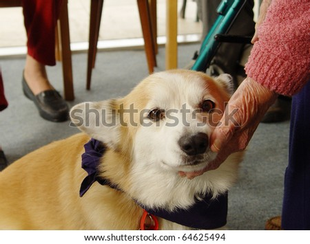 Pet therapy series Beautiful corgi visiting in a rest home - stock photo