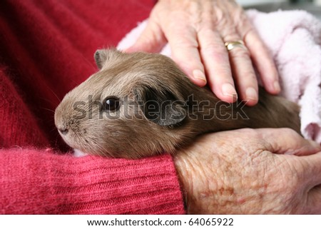 Pet therapy series. Guinea pig in the rest home sitting on the lap of an elderly rest home resident being petted - stock photo